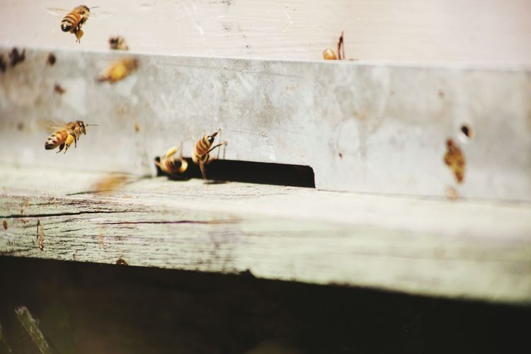 Close Up View Of Bees Flying To Hive