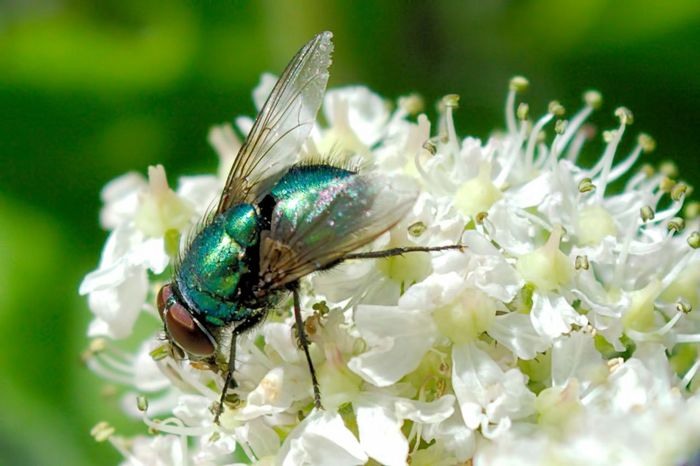 Close-up Flower Focus On Foreground Green Color Greenbottle Insect Nature Petal Plant Wildlife Gazisonit Gary Coupland