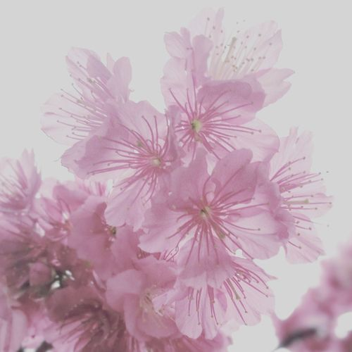 Sakura Flower Pink Color Blossom Nature Beauty In Nature Outdoors Day No People Nature Beauty Cherry Blossoms Plant Flower Head Freshness Growth Purple Fragility Close-up Millennial Pink
