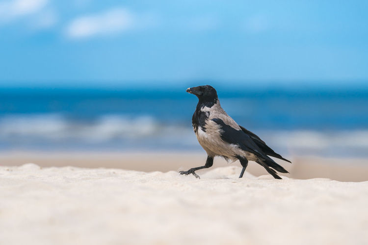 Animal Themes Animal Wildlife Animals In The Wild Beach Beauty In Nature Bird Close-up Day Horizon Over Water Nature No People One Animal Outdoors Sand Sea Sky