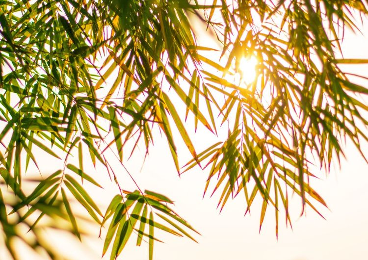 Bamboo leaves and sunset beautiful for background. Summer Light Sun Sunset Nature Bamboo Leaves Background Tree Growth Nature Pinaceae Outdoors