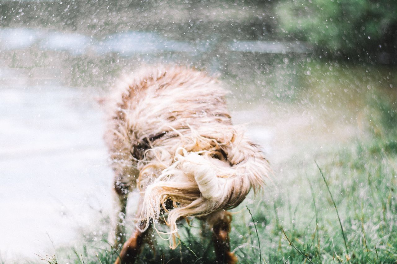 Close-up of dog shaking off water while standing on field