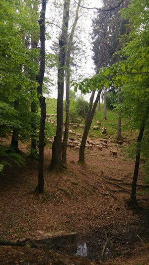 Sheep Herding Inthewoods Outdoors