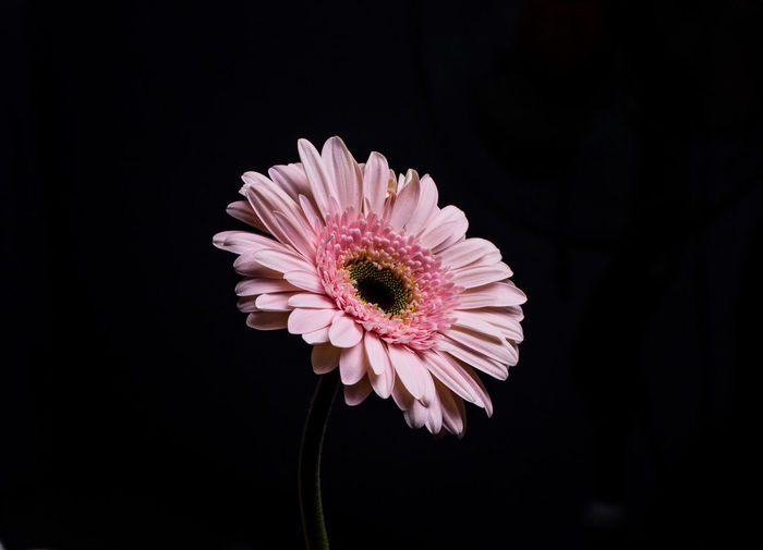 Flower Flowering Plant Flower Head Freshness Inflorescence Studio Shot Beauty In Nature Close-up Copy Space Black Background Growth Fragility Petal Pollen Vulnerability  Plant Daisy Nature No People