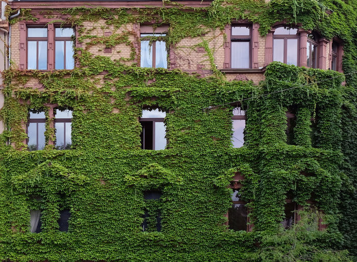 Full frame shot of ivy growing on building