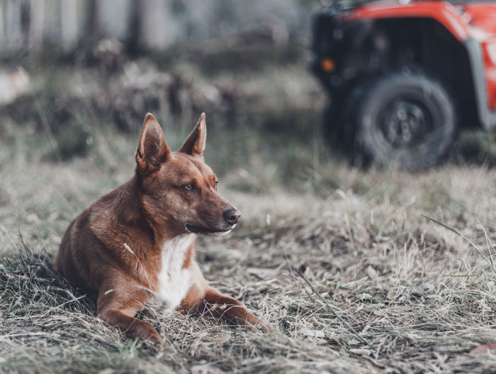 Dog looking away on field
