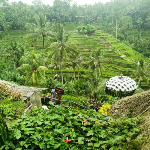 Landscape Grass Beauty In Nature Nature Rice Field Ubud Bali Bali INDONESIA