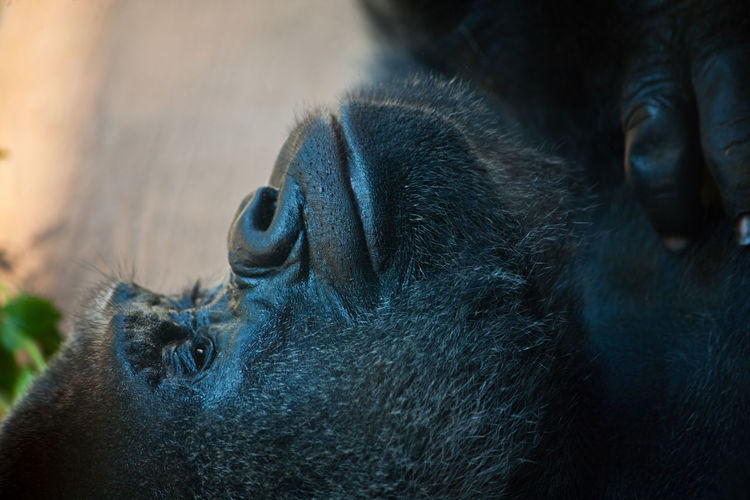 Close-up of gorilla relaxing outdoors