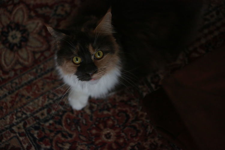 High angle portrait of cat looking at home