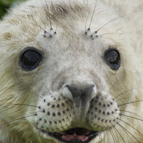 Young pup on Staple Island, North Humberland. Seal Seals Puppy Seal Animals