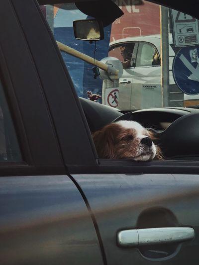 Sleepy dog Mode Of Transportation Transportation Vehicle Interior Car Motor Vehicle Land Vehicle Vehicle Seat Glass - Material Travel One Animal Indoors  Pets Windshield Domestic Canine Car Interior Seat Dog Domestic Animals Steering Wheel