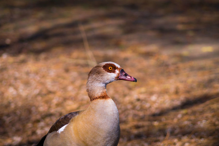 Portrait of a Egyptian Goose Alopochen Aegyptiacus Anatidae Animals Aves Beak Beautiful Birds Close-up Egyptian Goose Feathers Geese Goose Nature Nile Goose Ornithology  Portrait Water Birds Wildlife