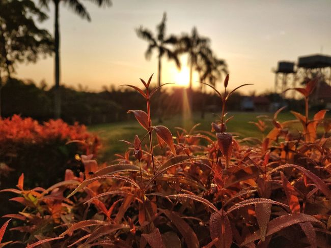 Sunset 🌄 2 Leaf Leaves Sun Sunset_collection Shooting Shotononeplus6 Landscape Nature Photography Nature_collection Flower Head Flower Poppy Rural Scene Sunset Cereal Plant Tree Agriculture Summer Wildflower