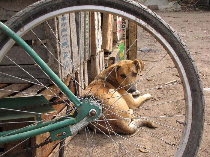 Animal Themes Bicycle Day Domestic Animals Land Vehicle Mode Of Transport No People One Animal Outdoors Spoke Tire Transportation