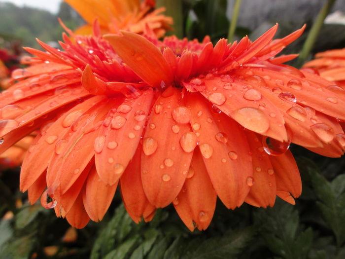 Close-up of wet orange gerbera daisy