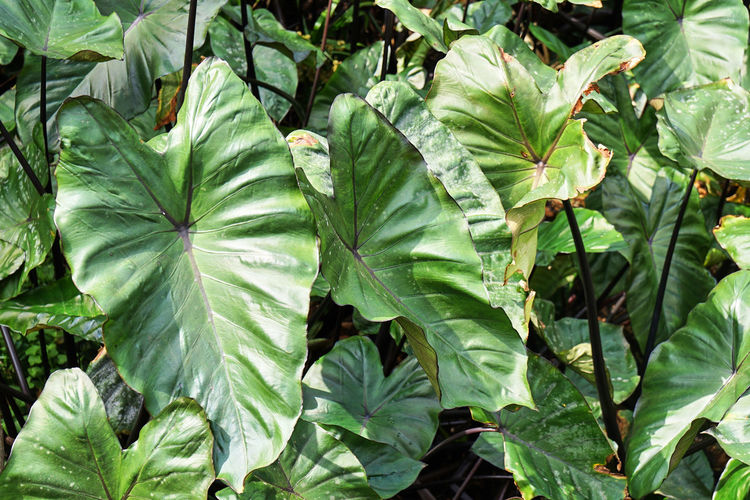 Green Nature Agriculture Backgrounds Beauty In Nature Close-up Elephant Ears Freshness Garden Green Color Growth Leaf Morningwalk No People Outdoors