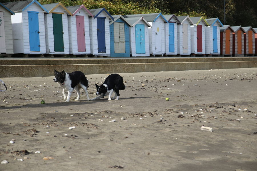 Isle Of Wight, UK Animal Themes Architecture Beach Beach Chalet Beachphotography Day Dog Dogs Playing Together Domestic Animals Isle Of Wight  Nature No People Outdoors Pets Sand Sandown