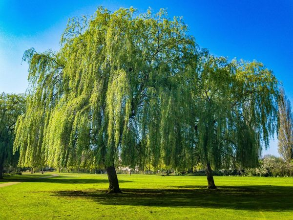 Trees 🌲🌳 Tree Green Color Nature Growth Grass Blue Sunlight Clear Sky No People Shadow Outdoors Tranquility Tranquil Scene Field Day Sky Scenics Landscape Willow Tree