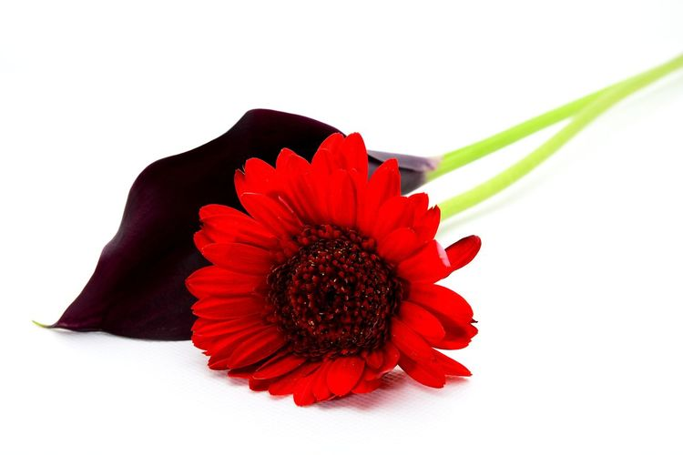 Close-up of red flower against white background