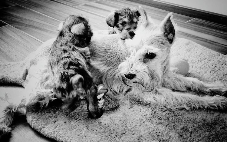 Animal Themes Domestic Animals Dog Family Pets Dogs Life Puppy Photography Schnauzers Pet Portraits