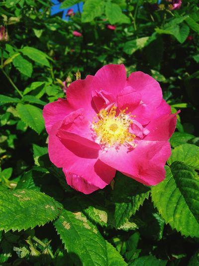 Morning Walk Pretty For My Friend Warm Weather Sunny Happy Flower Rosé