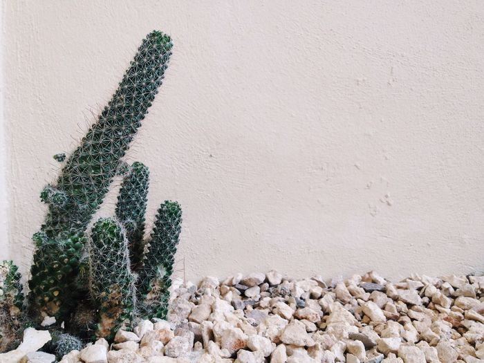 Organ Pipe Cactus Growing On Pebbles Against Wall
