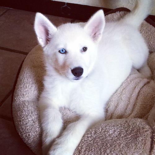 """Ella es hermosa """"Luna"""" 😍 Husky Husky ♡ Husky Puppy Huskysiberiano Love Pets Dog❤"""