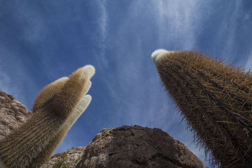 Cacti in the sky at Isla Incahuasi Bolivia Cacti Cactus INTERTOURIST Isla Incahuasi Tourist Attraction  Travel Photography Unique Perspectives Uyuni Salt Flat Animal Themes Beauty In Nature Blue Sky And Clouds Close-up Day Landscape Low Angle View Mammal Nature No People Outdoors Salt Lake Sky Tourism Destination