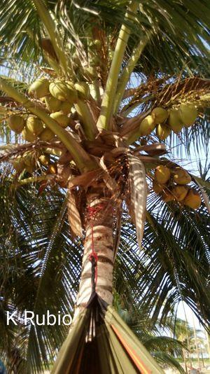Cocos caribeños 2 Islandlife Coconut Trees Coconut Sunlight Nature Photography Photoart Caribe,paraiso