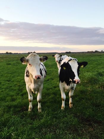 Deceptively Simple Cows 🐄🐄 First Eyeem Photo