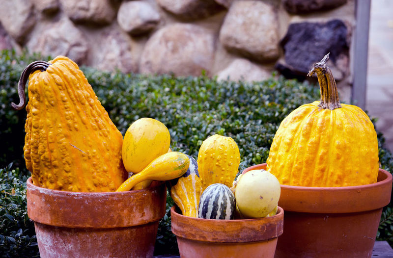 terra cotta pots hold pumpkins and gourds for a interesting garden display Autumn Fall Beauty Fall Colors Halloween Michigan Pumpkins Rustic Thanksgiving USA Vegetables & Fruits Day Decorations Decorative Food Freshness Gourds Orange Color Seasonal Terra Cotta Pots