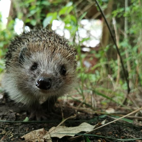 Portrait Looking At Camera Close-up Hedgehog Spiked Thorn Nose Animal Eye