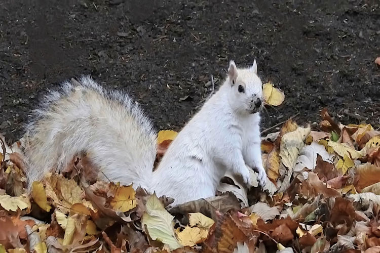 White squirrel playing in autumn leaves. Animal Themes Autumn Autumn Colors Autumn Leaves Cute Animals Day Domestic Animals Fall Leaves Field High Angle View Leaves Leucism Mammal Nature Nature New England  No People One Animal Outdoor Outdoors Rodent Squirrel Squirrel Closeup White Color White Fur
