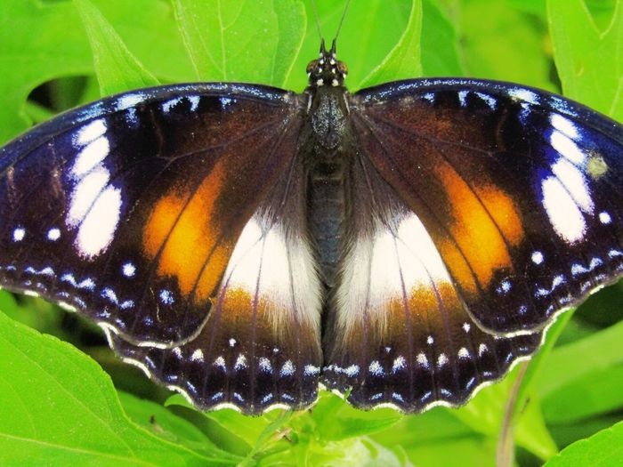 butterfly-insect