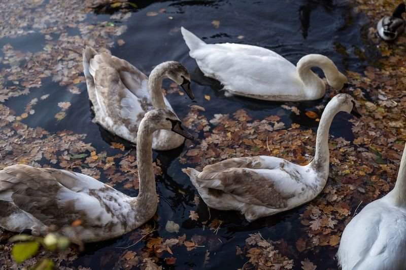 Autumnal Cygnets EyeEm Selects Animal Themes Bird Animal Group Of Animals Animals In The Wild Animal Wildlife Water High Angle View Nature No People Day Lake Swan Water Bird Young Animal Cygnet