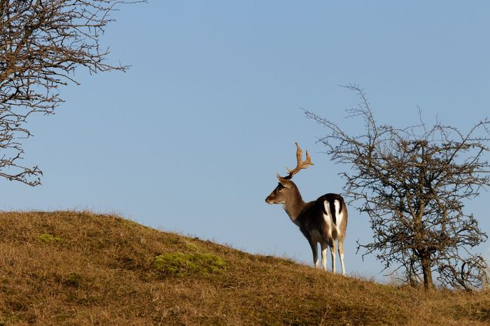 Deer Stag On The Lookout One Animal Mammal Animal Themes Nature Day Animals In The Wild Clear Sky