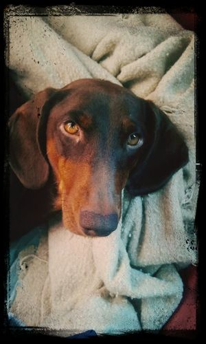 Milka Dog I Love My Dog Dachshund DogLove