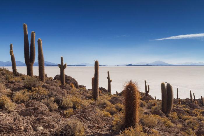 Cactus on Isla Incahuasi, Salar de Uyuni, Bolivia Arid Climate Beauty In Nature Blue Bolivia Cactus Day Desert Ecosystem  Growth Isla Incahuasi Landscape Nature No People Outdoors Plant Salar De Uyuni Scenics Sky