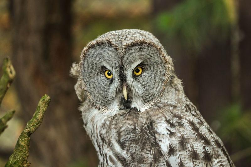 Portrait Of Great Gray Owl