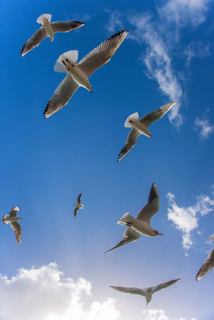Flying Seagulls Animal Wildlife Animals In The Wild Beauty In Nature Bird Blue Sky And Clouds Blue Sky And White Clouds Blue Sky Background Dubai Dubai Creek Dubaicity Flock Of Birds Flying Freedom Motion Outdoors Seagulls Sky Spread Wings