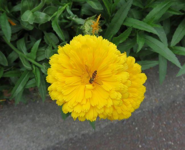ハチ ハチ 蜂 はな 花 黄色