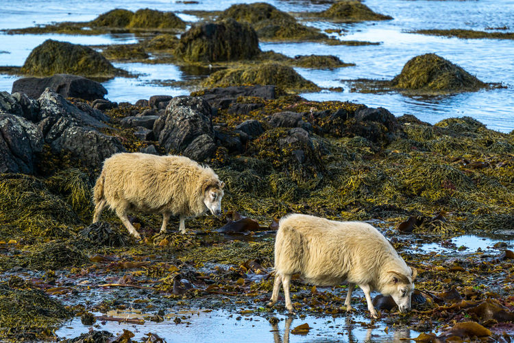 View of sheep on beach