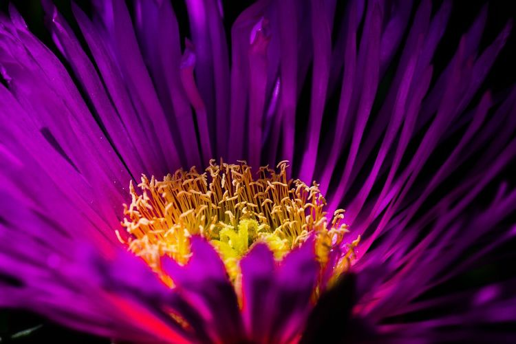 Flower Purple Fragility Beauty In Nature Petal Growth Nature Freshness Flower Head Close-up Pollen Blooming Plant No People Outdoors Day Eastern Purple Coneflower EyeEmNewHere