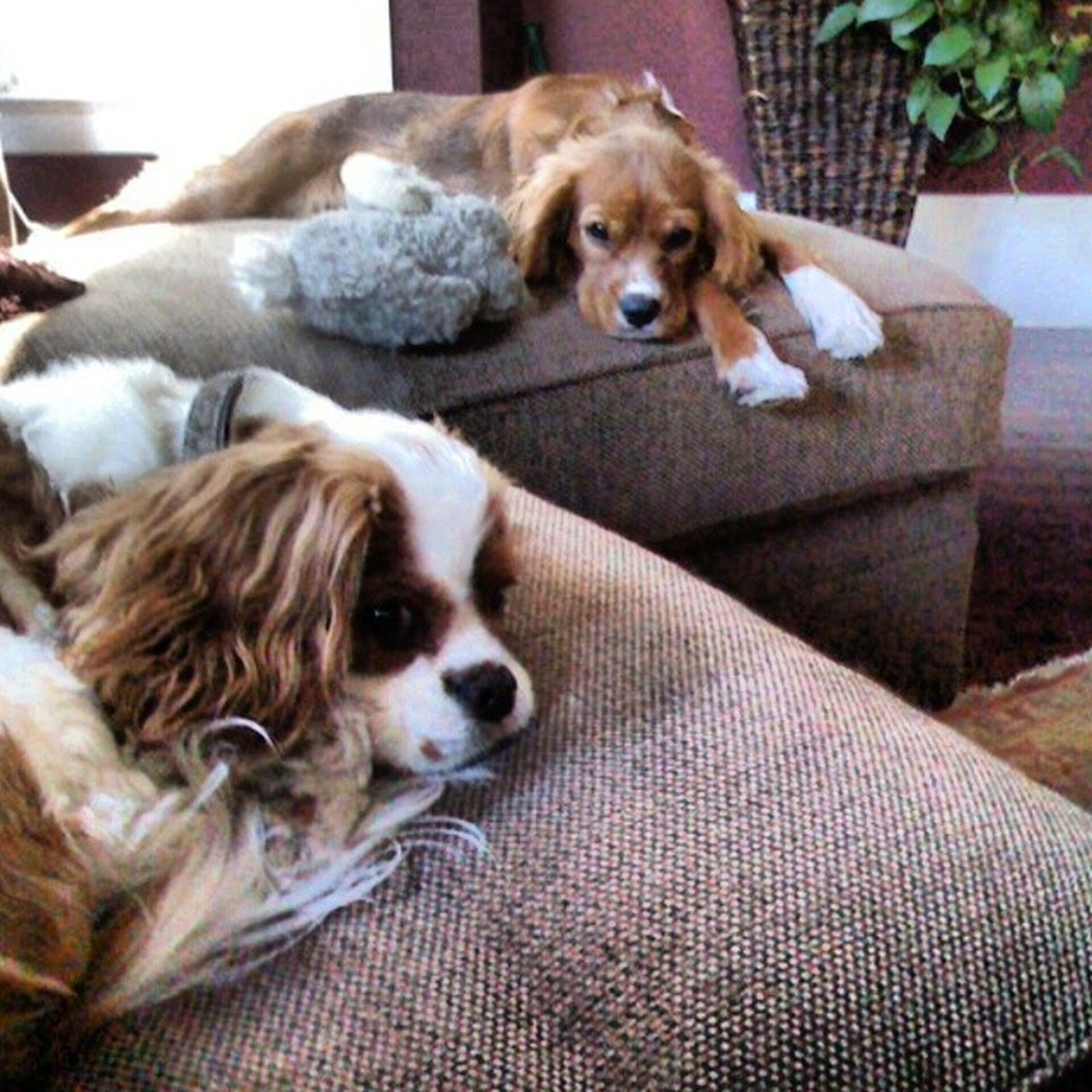 pets, domestic animals, dog, one animal, animal themes, mammal, indoors, relaxation, portrait, home interior, looking at camera, resting, bed, lying down, sofa, no people, home, sitting, close-up, high angle view