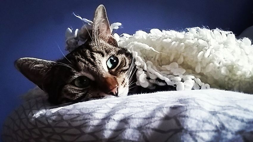 Cat Purple Dream Relaxing Tiger Sleep Blanket Eyes Peace Look Animal Photography Love Aimals Captured Moment Pet Portraits