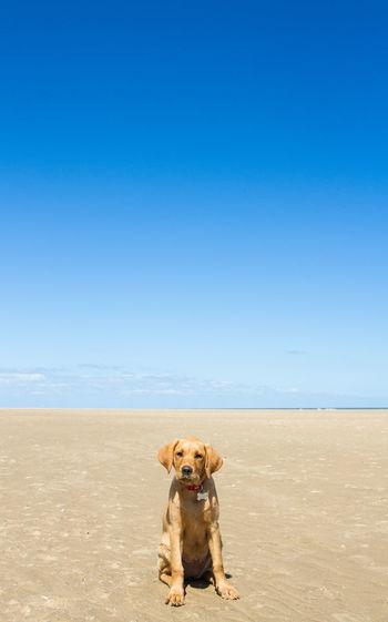 Portrait of dog on beach against clear blue sky