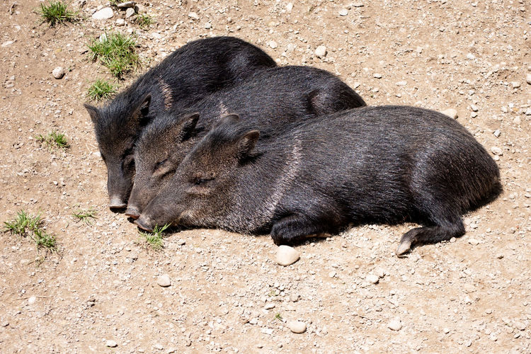 Three sleeping pigs Take A Nap Animal Animal Themes Black Pigs Day Herbivorous High Angle View Livestock Lying Down Mammal No People Pig Piglet Relaxation Relaxing Pigs Sleeping Three Pigs Vertebrate
