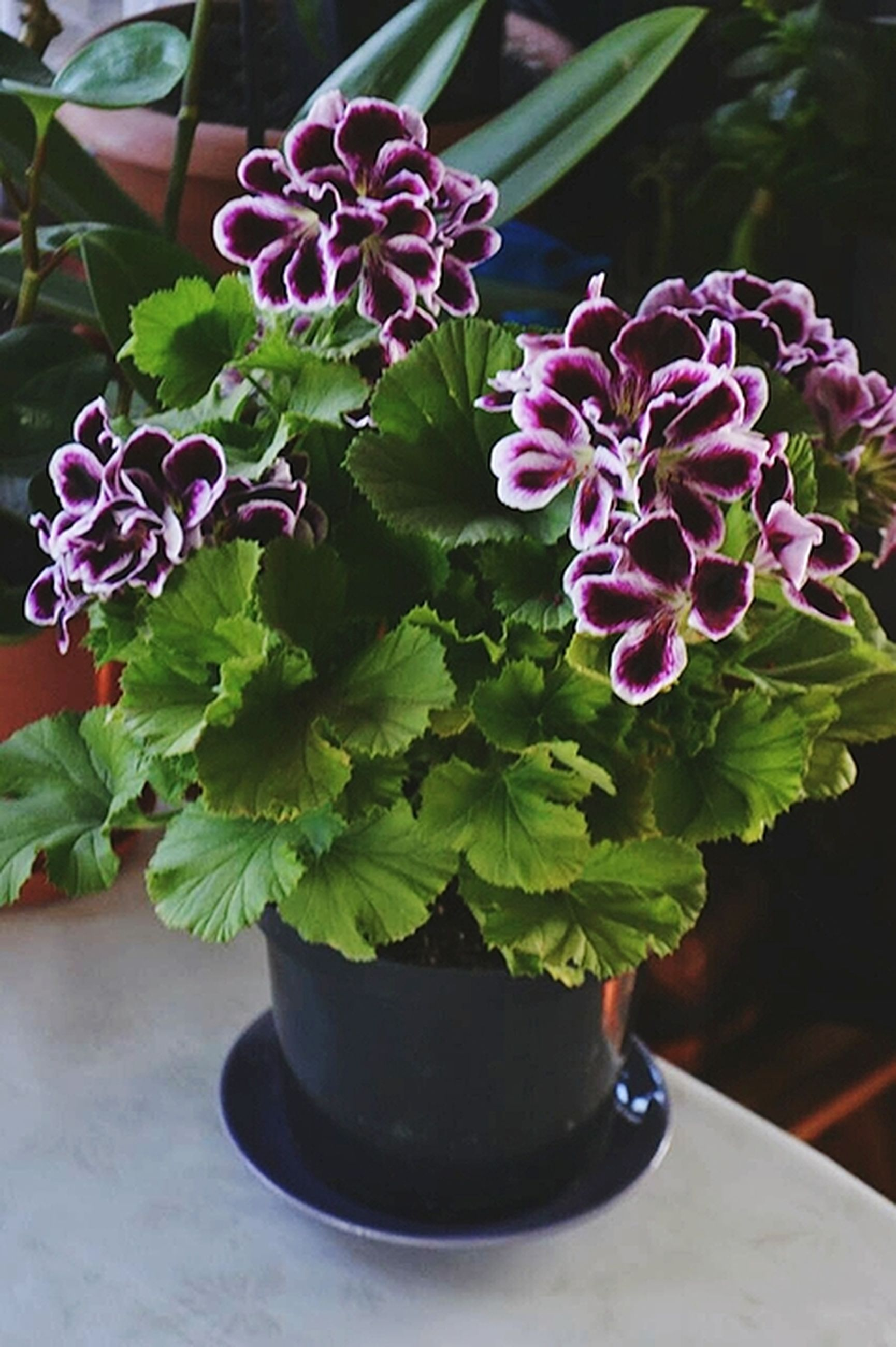plant, flower, growth, leaf, potted plant, nature, purple, beauty in nature, fragility, no people, freshness, close-up, day, indoors, flower head
