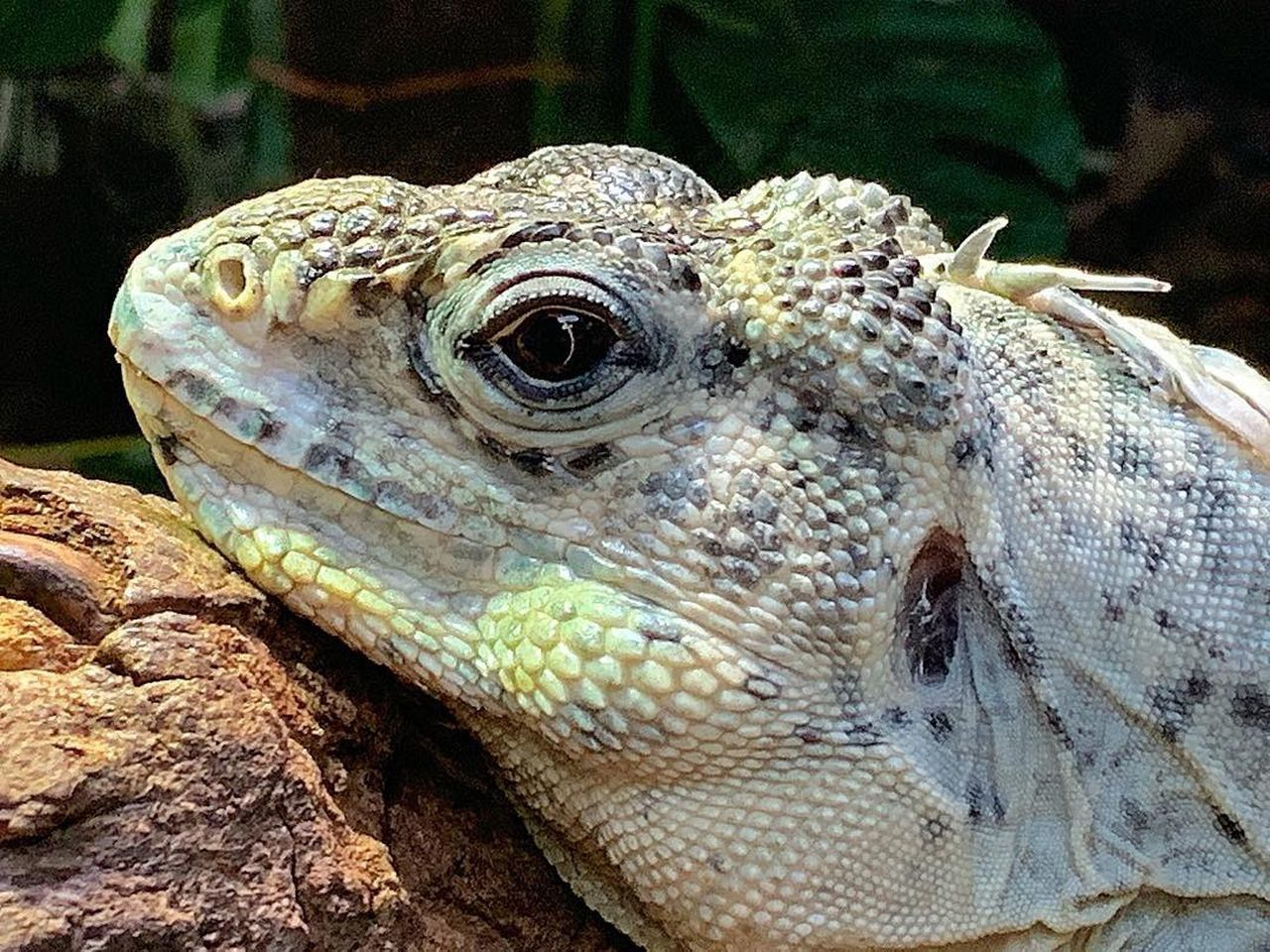animal, animal themes, animal wildlife, one animal, animals in the wild, close-up, reptile, vertebrate, lizard, focus on foreground, no people, animal body part, bearded dragon, animal head, day, nature, natural pattern, outdoors, animal scale, animal eye