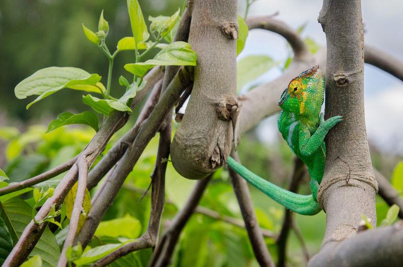 Close-Up Of Chameleon On Tree